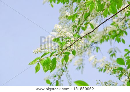 Bird cherry (Prunus padus) on sky background