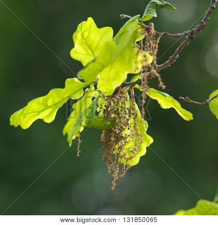 A branch of a flowering pedunculate oak (Quercus robur)