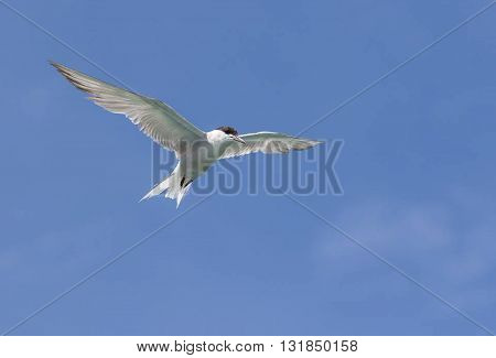 White  bird flying with open wings, bird  in the air with wings wide open in-front of the blue sky