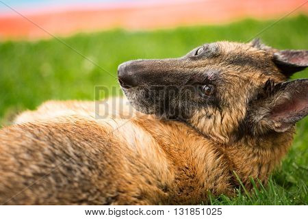 German Shepherd Dog laying down in grass looking back at camera
