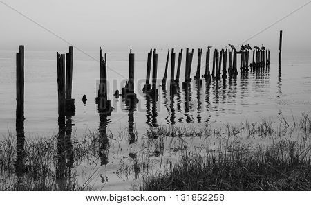Old dock posts and water birds in a black and white tone.