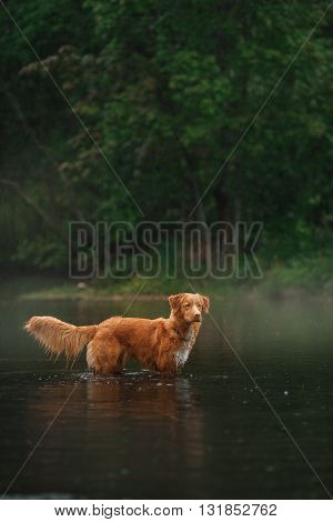 Dog Nova Scotia Duck Tolling Retriever walking by the lake