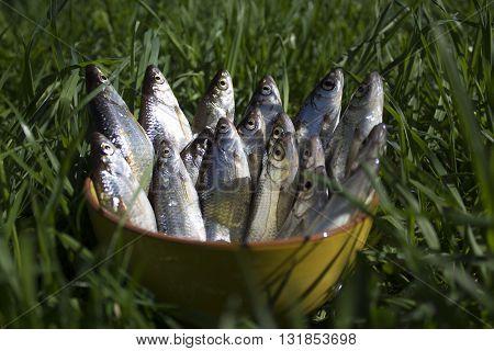 fresh catch of a fisherman, fish roach