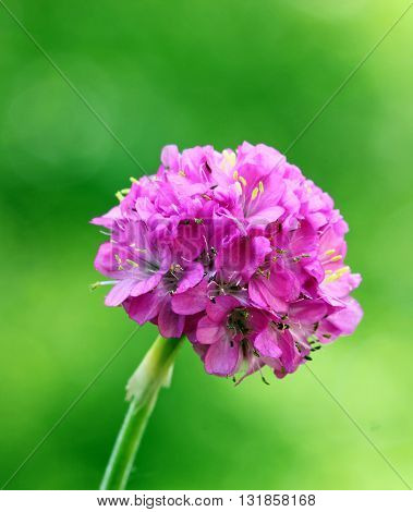 A close up of a pink Sea thrift flower with shallow depth of field