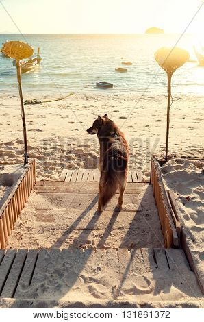 Brown dog is waiting for owner in front of the beach