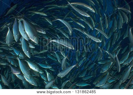 Tuna fish in sea