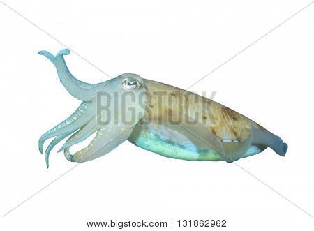 Cuttlefish isolated on white background