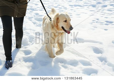 Golden retriever going for a walk with mistress outdoors in winter
