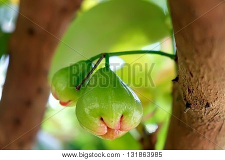 Green water apple chomphu rose apple Malabar plum on the tree on the background of Thai garden. Selective Focus