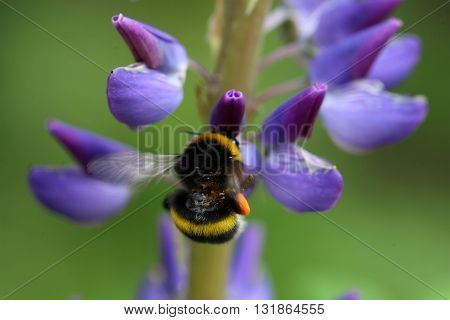 A buff-tailed bumblebee or large earth bumblebee (Bombus terrestris) on a lupin flower.