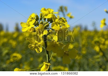 blooming rapeseed fields at the village on a sunny day