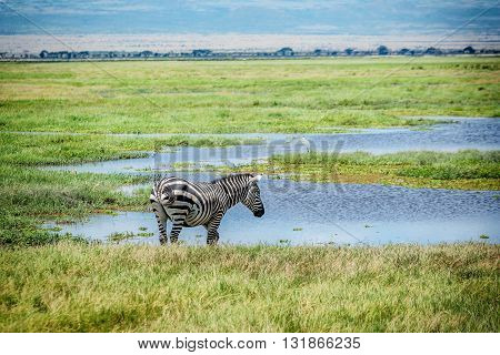 Zebra drinking water in  Masai Mara resort in Kenya Africa