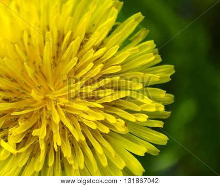 Yellow dandelion close up on green background