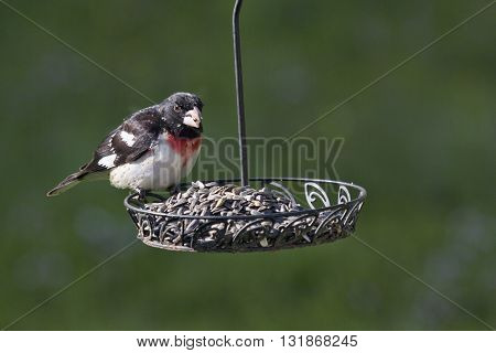 A rose breasted grosbeak perches on a backyard feeder selecting the choisest seeds from a plethora of black sunflower seeds.
