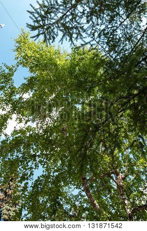a Birch forest against the blue sky