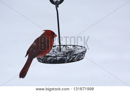 A male cardinal forages for the choicest seeds in a backyard bird feeder on a cold winter morning.
