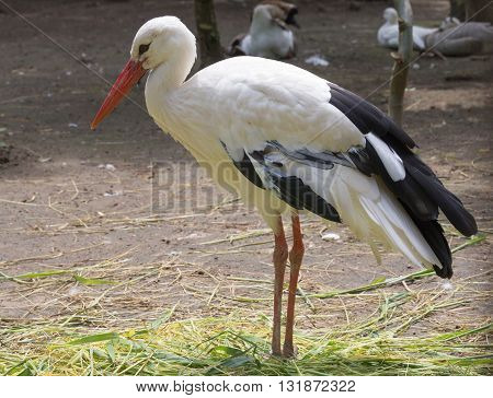 A white stork (ciconia ciconia), close up