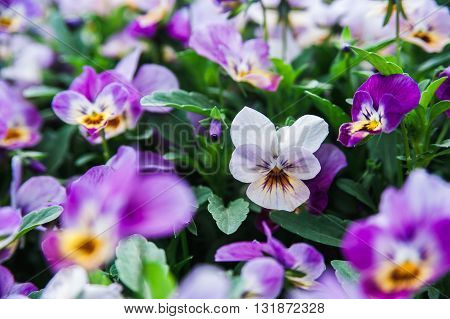 Some beautiful violets in the flower bed. Macro shooting