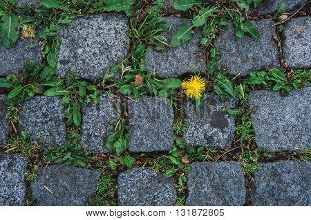 a dandelion among the tiles of pavers and greenery, rare