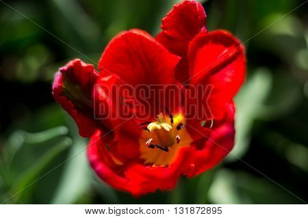 Macro portrait of the blooming red tulip in the spring