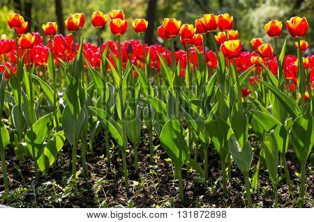 Colorful blossing red with yellow tulips in public park