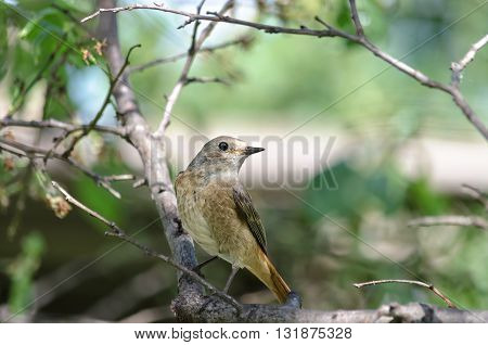 The female Redstart, sitting on a branch of a plum tree in the garden, bokeh and place for text