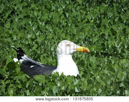 Lesser black backed gull on its nest