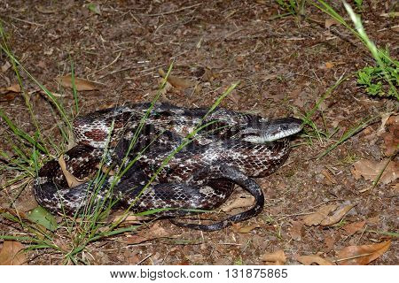 Rat snake coiled in natural outdoor forest floor setting