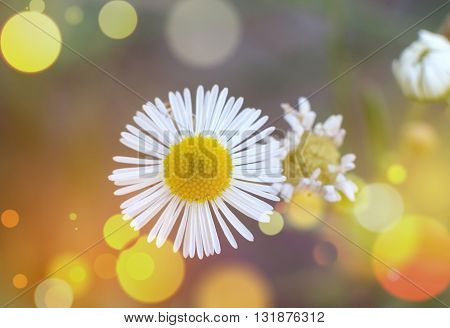 Macro of blooming beautiful white daisies flowers. Lovely blossom daisy flowers background blured. Beautiful view from above on blossom camomile flowers.