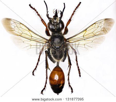 Golden Digger Wasp on white Background  -  Sphex funerarius (Gussakovskij, 1934)