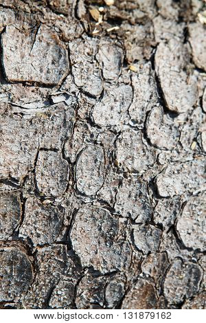 The texture of the tree bark of a pine. Background of tree bark. The scaly skin of the trees and layered, similar to the skin of a crocodile.