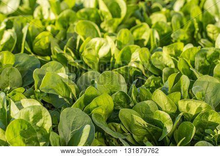 Spinach Leafs in Garden Vegetable Bed - Green Spinach Uniform Background