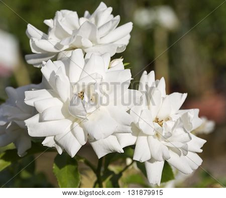 White Rose Carte Blanche flowers in spring
