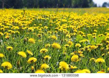 Field yellow flowers dandelions close. Rural view of flower meadow. Pastoral panorama of nature summer. Beautiful landscape of a Sunny day. Field with yellow dandelions.landscape of a Sunny day. Field with yellow dandelions.