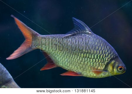 Tinfoil barb (Barbonymus schwanenfeldii). Wildlife animal.