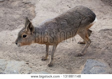 Patagonian mara (Dolichotis patagonum), also known as the Patagonian cavy. Wild life animal.