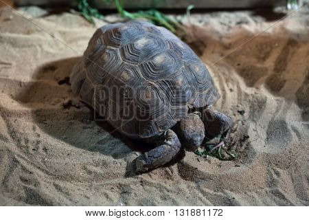 Texas tortoise (Gopherus berlandieri). Wildlife animal.