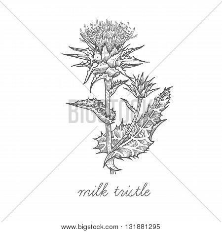 Milk thistle. Vector plant isolated on white background. The concept graphic images of medicinal plants herbs flowers fruits roots. Can used for packaging of natural products health and beauty.