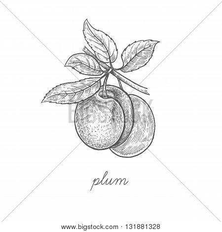 Plum. Vector plant isolated on white background. The concept of graphic image fruits berries. Design for package of health and beauty natural products. Style Vintage engraving. Black and white.