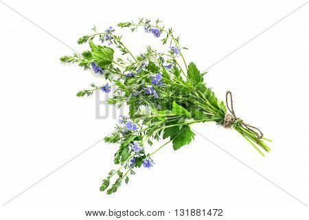 Medicinal plant Veronica Chamaedrys with flowers on a white background