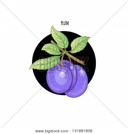 Vector illustration of a plum fruit in a black circle on a white background. Design of packaging food products cosmetics shampoos health supplements.