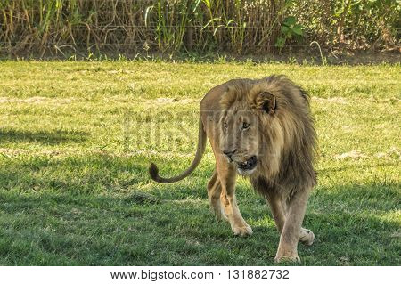 The African Lion is the top predator in the African wild
