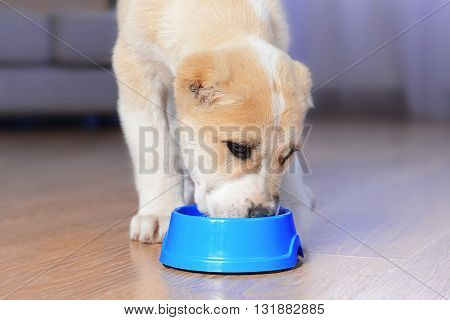 Central Asian Shepherd puppy eating from the bowl