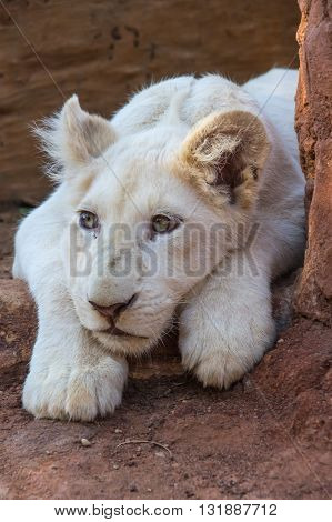 African White Lion cubs relax in the midday sun