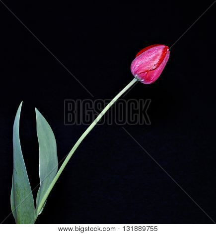 One red tulip on the dark background