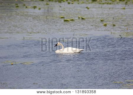 A Trumpeter swan (Cygnus buccinator) in a mill pond in Sleeping Bear Dunes National Lakeshore, Michgian