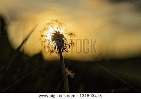 Sunset and the dandelion seed , a closeup of a dandelion and the sun directly behind