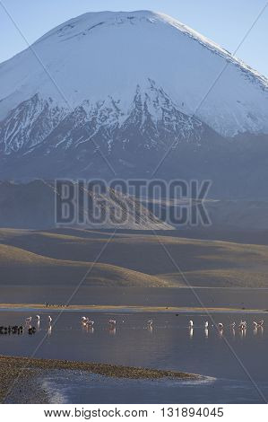 Group of Chilean Flamingos (Phoenicopterus chilensis) at dawn on Lake Chungara in Lauca National Park, northern Chile.