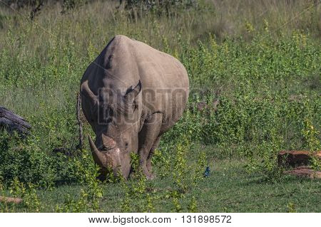 Rhinoceros grazing in the Weldgevonden Game Reserve in South Africa
