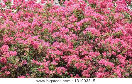 Pink bougainvillea flowering in spring, Used for background